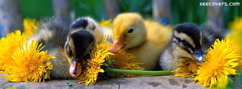 Babies Of Duck FB Cover Photo HD