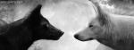 Black Wolf Vs White Volf