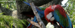 Macow Parrot In Greenery