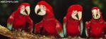 Macow Parrots