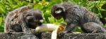 Monkeys Enjoying Banana