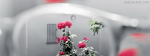 Pink Roses With White Background