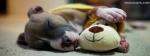 Pitbull With His Teddy Bear