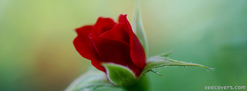 Red Rose FB Cover Photo HD