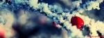 Snow Cherrys