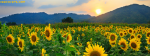 Sunrise Scene With Beautiful Sun Flowers