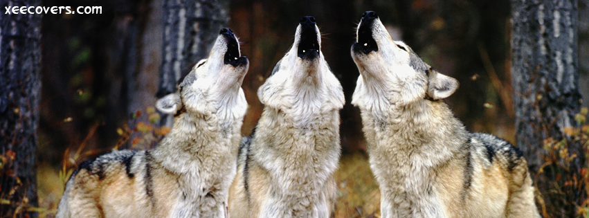 Three Wolfs Howling FB Cover Photo HD