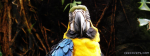 Yellow Macow Parrot