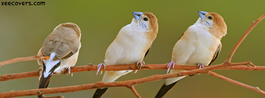 Indian Silverbill FB Cover Photo HD