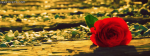 Lonely Love Rose