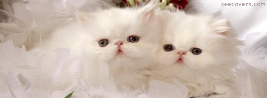 White Persian Cat FB Cover Photo HD